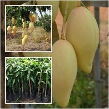 "Mango Tree Plant Grafted ""Nam Dok Mai"" Golden Tall 18'' Fruit Tropical Thailand"