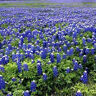 Lupinus texensis or Texas Bluebonnet 10 seeds