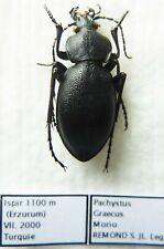 Carabus pachystus graecus morio (female A1) from TURKEY