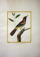 Amsel Santo Domingo Haiti Vogel Vögel Kupferstich Buffon Histoire Naturelle 1765