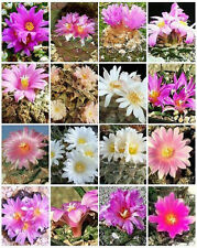 Ariocarpus variety mix, living rock stone plant rare cactus seed cacti 10 SEEDS