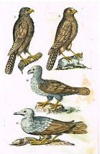 "Jonston - Merian Birds - ""FOUR BIRDS OF PREY"" - Hand-Colored Engraving -1657"
