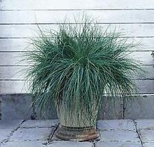 Ornamental Grass Seed - Festuca Fescue Glauca Festina Seeds