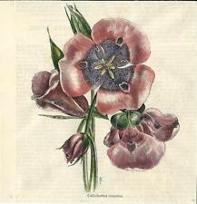 Stampa antica FIORI Calochortus venustus 1892 botanica Old antique print flowers