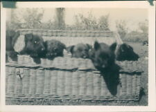 Photograph 1930's  Cute Litter of Puppies in Basket  picture 5