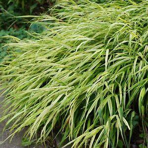 Hakonechloa macra 'Aureola' - Japanwaldgras 0,5 Liter Topf