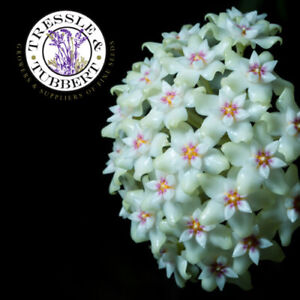Rare Green Hoya carnosa perennial flower 5 seeds UK SELLER