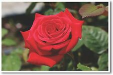 Hybrid Tea Rose - NEW Animal Wildlife POSTER
