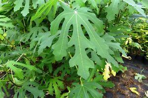 Feigenbaum Dalmatie Ficus carica Precoce de Dalmatien ca. 60 cm  Feige