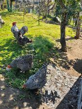 8 Uova Fertili Amrock disponibili subito eggs Chicken American Rock