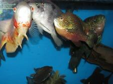 """10 lbs 3/16"""" Cichlid & More 41% Protein Growth Pellet FLOATING Fish Food"""