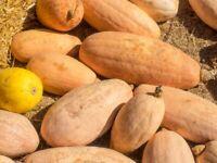 Pumpkin Seeds Polyanin long pumpkins organic non gmo 10 seeds Ukraine D