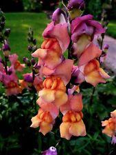 ESOTICO Antirrhinum FRUTTA INSALATA. giardino pianta 150 semi.