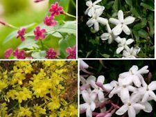 10pcs Jasmine Seeds Flowers Shrubs 6 Type Plants Smell Beautiful Garden Hedgerow