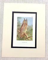1929 Antico Uccello Stampa Lungo Orecchie Gufo Gufi Art Thorburn's Ornitologia