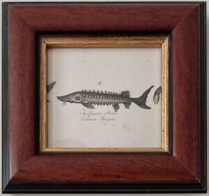 1806 COMMON STURGEON FRAMED ANTIQUE ORIGINAL PRINT - SMALL SIZE 215 YEARS OLD