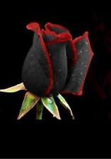 Egrow 100Pcs Black Rose Seeds Flower With Red Edge Rare Rose Garden Bonsai Seeds