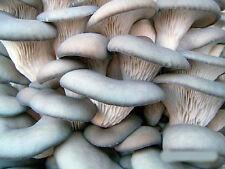 Chinese black Oyster mushroom Dry spawn Вешенка китай�кий черный - 10g S1205