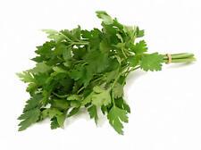 Parsley Seeds, Italian Giant Flat Leaf, Heirloom Herbs, Bulk Herb Seeds, 500ct
