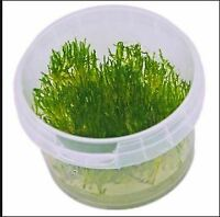 Flame Moss - Free Shipping