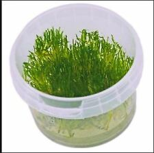 Flame Moss - Taxiphyllum Flame - Buy 3 get 1 free