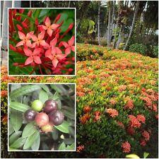 Ixora Red Flower 50 seeds, Ixora Red Dwarf, Ixora coccinea, Flower Seeds Rare