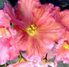 "African Violet Ek-Orange Slices (Russian) Ruffled Peach/Pink, 3"" pot, Very Rare!"