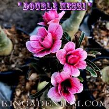 "ADENIUM OBESUM DESERT ROSE "" DOUBLE MESSI "" 1 GRAFTED PLANT NEW HYBRID FREE SHIP"