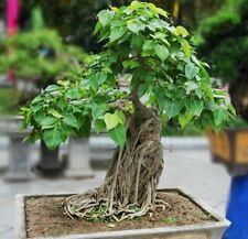 3 Ficus Religiosa Tree Bodhi Seed Religious Evergreen Plant Bonsai Peepal Buddha