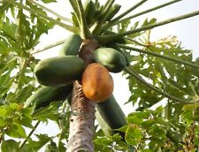 100 graines giant  PAPAYE Orange ile de  la REUNION ( mon jardin) seeds papaya