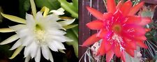 EPIPHYLLUM Cactus  1 Variegated RED/PINK  + 1 White = 2 CUTTINGS - FREE Postage!