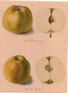 Chromolithographie Lord Grosvenor Mank`s Apfel Sorte Pomologie Vintage Print !