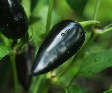 BLACK HUNGARIAN pure seeds