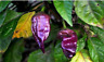 20 SEEDS! PURPLE Ghost Pepper Extremely RARE Hot Spicy Heirloom Bhut Jolokia