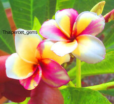"Plumeria/Plants/Flowers/""WinLove"" Fresh 50 Seeds"