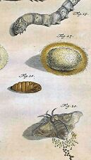 SILKWORM Eggs, Caterpillar- Papilionum Nocturnorum I -Rosel 1746 Hand Colored
