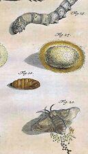 SILKWORM Eggs, Caterpillar- Papilionum Nocturnorum I -Rosel 1746 Hand Colored