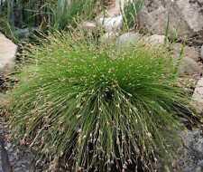 Scirpus cernuus (Fibre optic plant/ Cotton bud plant) bare root/rooted cutting.