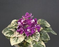 Morgan's Elvin Earl Blatt/ leaf African Violet Usambaraveilchen