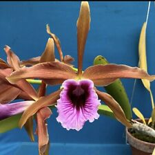 Laelia tenebrosa ('Richard Santos' X Select Bh-171) New Import 4� (12)