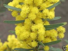 Showy Wattle Seed  Drought/Frost Tolerant Small Evergreen Native Tree