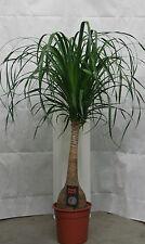 Elefantenfuß 140 cm +/-,Dicker Stamm,Nolina recurvata, Wasserpalme,Flaschenbaum