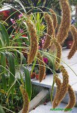 Kolbenhirse 150+ Samen *Fuchsschwanzhirse *Setaria italica *Foxtail millet seeds