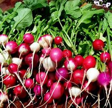 Easter egg radish mix 500 seeds * Harvest in 30 days* NON GMO *Heirloom* CombSH