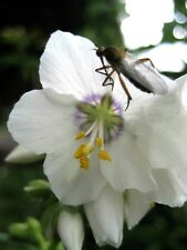 50 White Polemonium Coeruleum Jacob'S Ladder Flower Seeds + Gift & CombS/H