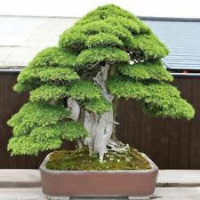 20Pcs Sacred Japanese Cedar Semillas Bonsai Plant Seeds Green Best Fast