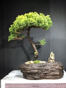 Japanese Juniper, traditional bonsai, 10years  old