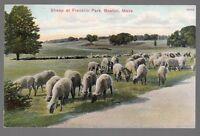 [50960] OLD POSTCARD SHEEP AT FRANKLIN PARK in BOSTON, MASSACHUSETTS