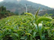 Best Of 5 Green Tea Seeds Camellia Sinensis Seed For Plant Seeds