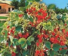 1 busta Semi fragole rampicante bustina giardino orto vaso perenne +/- 50 semi